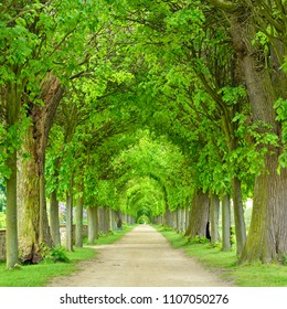 Tunnel-like Avenue of Linden Trees, Tree Lined Footpath through Park in Spring