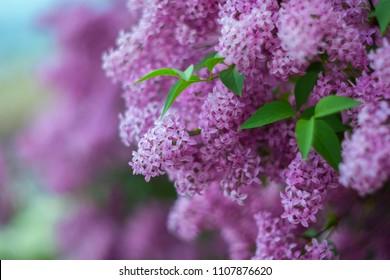 Blühende lila Flieder im Frühjahr. Selektiver Weichzeichner, geringe Schärfentiefe. Unscharfes Bild, Frühlingshintergrund.