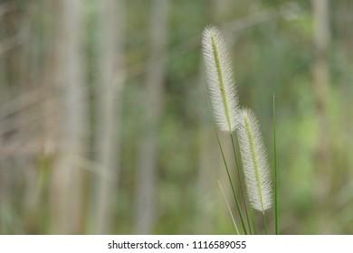 Setaria pumila, yellow foxtail, yellow bristle-grass, pigeon grass or cattail grass