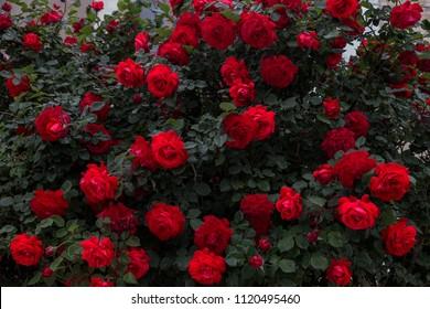 Schöne frische Rosen in der Natur. Natürlicher Hintergrund, großer Blütenstand von Rosen auf einem Gartenbusch. Eine Nahaufnahme eines Busches roter Rosen auf der Gasse des Stadtparks