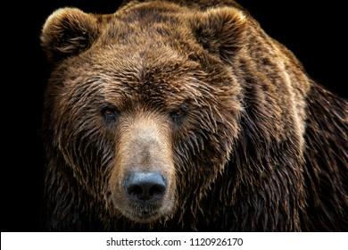Vorderansicht des Braunbären lokalisiert auf schwarzem Hintergrund. Porträt des Kamtschatka-Bären (Ursus arctos beringianus)