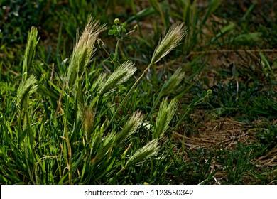 Bristle Grass Seed Head, Canyon, Texas