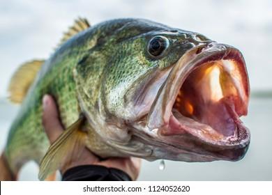 ビッグバスオオクチバス-釣り
