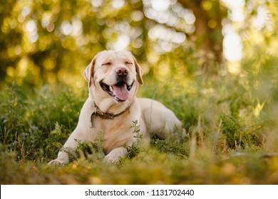 晴れた夏の日に屋外の芝生公園でアクティブな、笑顔と幸せな純血種のラブラドールレトリバー犬。