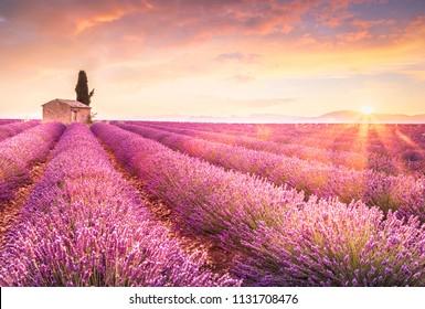 Lavender fields at sunrise near Valensole, Provence, France
