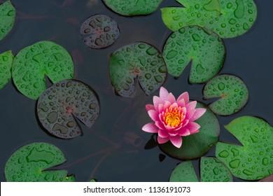 Regen lässt Wasser der schönen rosa Seerose oder Lotusblume im Teich für Text oder dekorative Grafik fallen.