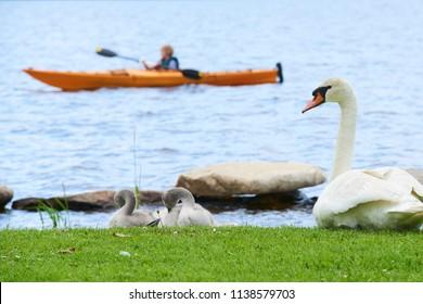 Kayak niño niño viendo una familia de cisne sentado en la orilla