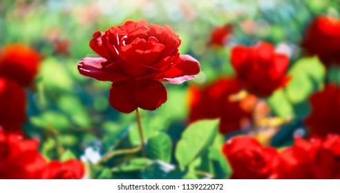 赤いバラの花。バックグラウンド。