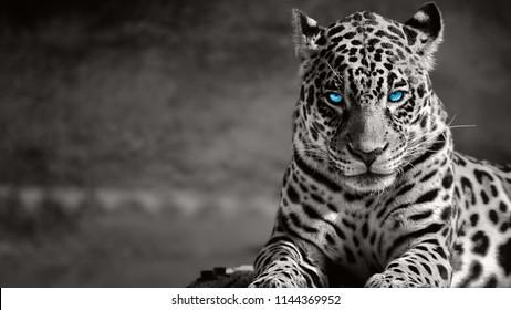 黒と白のジャガー、青い目