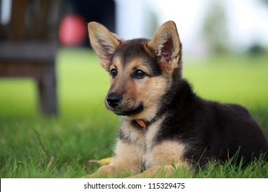 Cachorro de pastor alemán relajante en un cálido día de verano