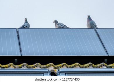 伝書鳩は、屋根の上部にあるソーラーパネルからの眺めを楽しんでいます。