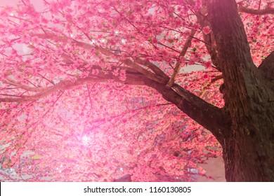 Achtergrond van bloeiende roze Cherry Blossom Sakura bomen en zon flare