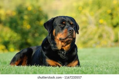 緑の草に横たわっているロットワイラー犬の屋外の肖像画