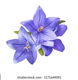 heller Glockenblumenblumenstrauß lokalisiert auf weißem Hintergrund