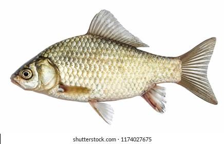うろこで隔離された魚、川のフナ