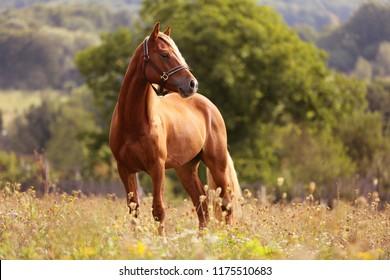高い草、長いたてがみ、茶色の馬のギャロッピング、夕日の光、黄色と緑の背景の高い草の中に立っている茶色の馬で走って立っているウェルシュポニー