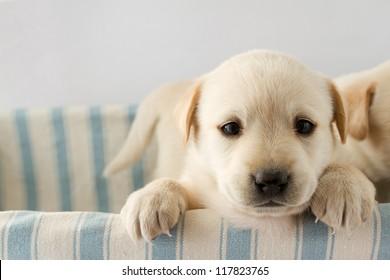子犬-かわいいラブラドール子犬の肖像画