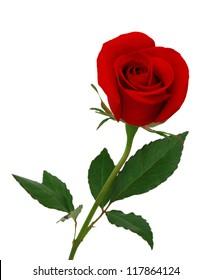 Einzelne schöne rote Rose lokalisiert auf weißem Hintergrund