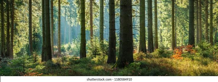Sonniger Panoramawald der Fichten im Herbst