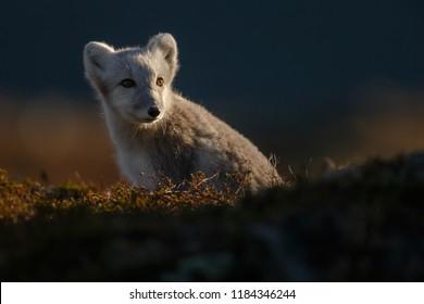 Wilder Polarfuchs in der Natur zwischen Herbstfarben.