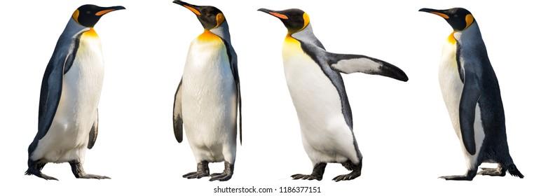キングペンギン。白い背景で隔離