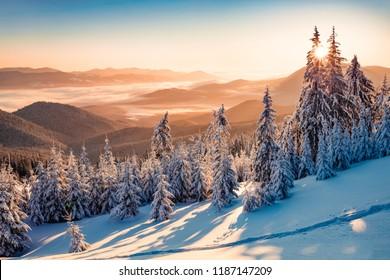 Beeindruckende Winterszene der Karpaten mit schneebedeckten Tannen. Spektakuläre Outdoor-Szene von Moumtain Forest. Schönheit des Naturkonzepthintergrunds.