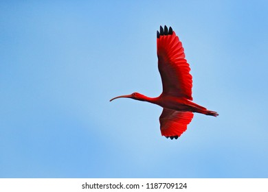 ショウジョウトキ、Eudocimus ruber、エキゾチックな赤い鳥、自然の生息地、青い空を飛ぶ、Caroni Swamp、トリニダード・トバゴ、カリブ海。野生生物の自然の中で赤いトキ。