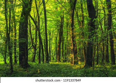 Sun beams through thick  trees branches in dense green forest