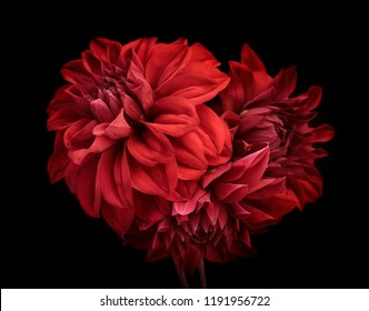 花赤いダリア、つぼみのクローズアップ。黒の背景。