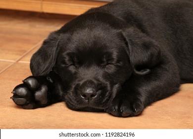 窓の近くの床で眠る黒いラブラドールの子犬
