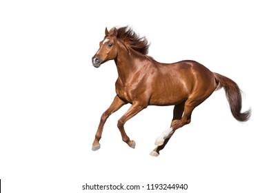 白い背景で隔離の赤い馬のギャロップを実行します。