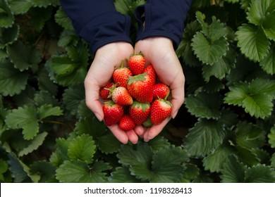 Recogiendo a mano frutos de fresa de los árboles directamente en la granja orgánica. Viajar y recoger fruta directamente en Japón y el concepto de producto de fruta fresca.