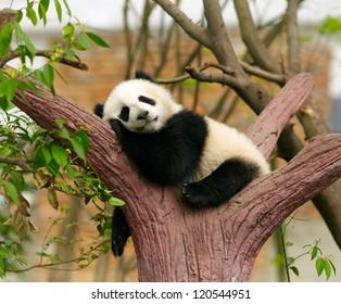 Schlafender Riesenpanda Baby
