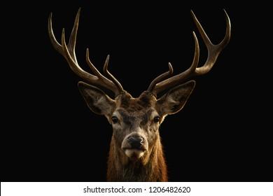 Red deer portrait on black background.