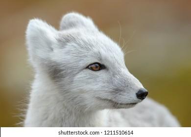 Polarfuchs In einer Herbstlandschaft