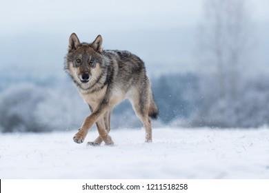 Wolf im Schnee, attraktive Winterszene mit Wolf, nah am Wolf im Schnee