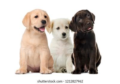 犬のグループ、ラブラドール子犬、白い背景の前に子犬チョコレートラブラドールレトリバー