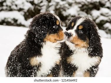 Besneeuwde Berner Sennenhondenpoppen snuffelen aan elkaar