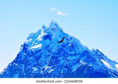 Cóndor andino, planeando alrededor del monte Olivia, Ushuaia.