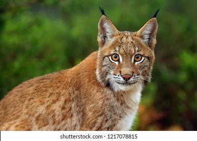 El lince euroasiático (Lynx lynx), retrato. Retrato de lince siberiano.