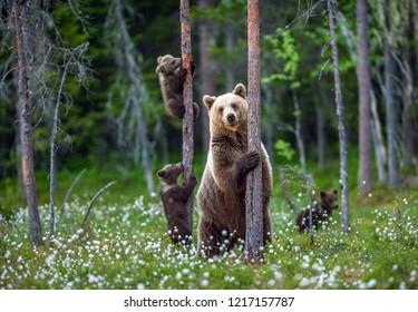 Sie trägt und trägt Jungen im Sommerwald im Moor zwischen weißen Blumen. Natürlicher Lebensraum. Braunbär, wissenschaftlicher Name: Ursus arctos. Sommersaison.