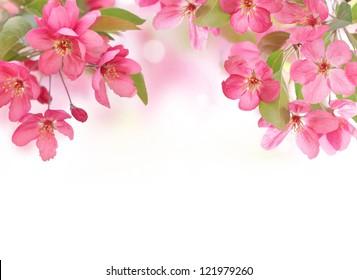 Apfelblumen, Frühlingsblüte auf Weiß mit Kopienraum.