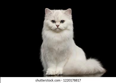 Adorable raza británica gato color blanco con ojos azules, sentado y mirando a cámara sobre fondo negro aislado, vista frontal