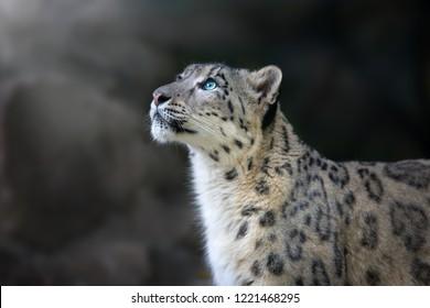 Snow leopard portrait close up on dark background