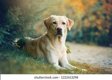 雨の中で木の下に横たわっているラブラドールレトリバー犬