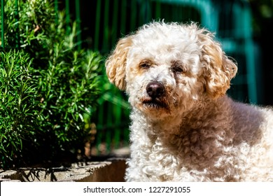 A maltase poodle cross dog looking into the sun in the garden