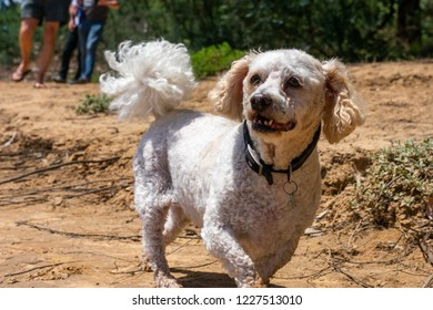 A maltase poodle cross dog walking along a dirt path looking happy with curly fur