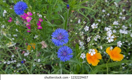 Blue, white, pink and yellow flowers in wild green meadow. Colorful annual flowering plants. Close up. Centaurea cyanus, known as cornflower or bachelor's button. California poppy. Gypsophila elegans