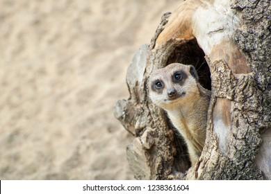 Suricata saliendo de su agujero en madera vieja.