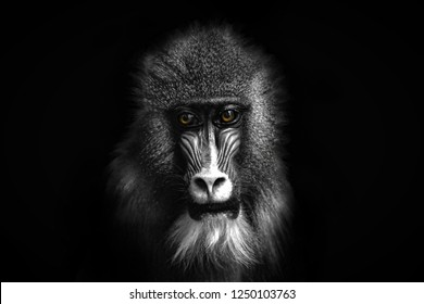 Closeup portrait of a baboon with yellow eyes
